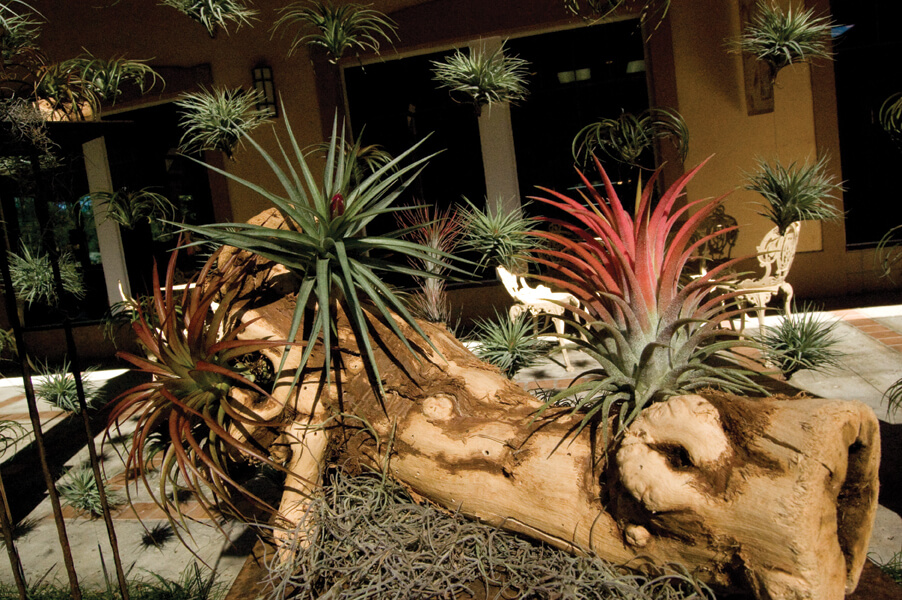 Tillandsia display at the River of Stone
