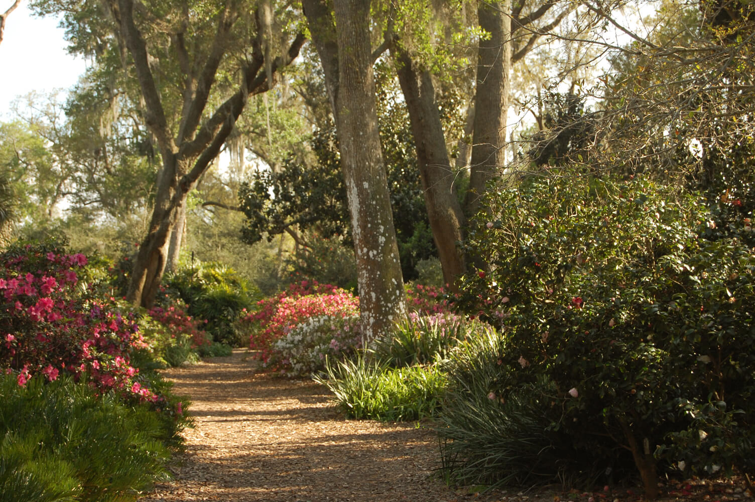 North Walk during azalea and camellia peak bloom