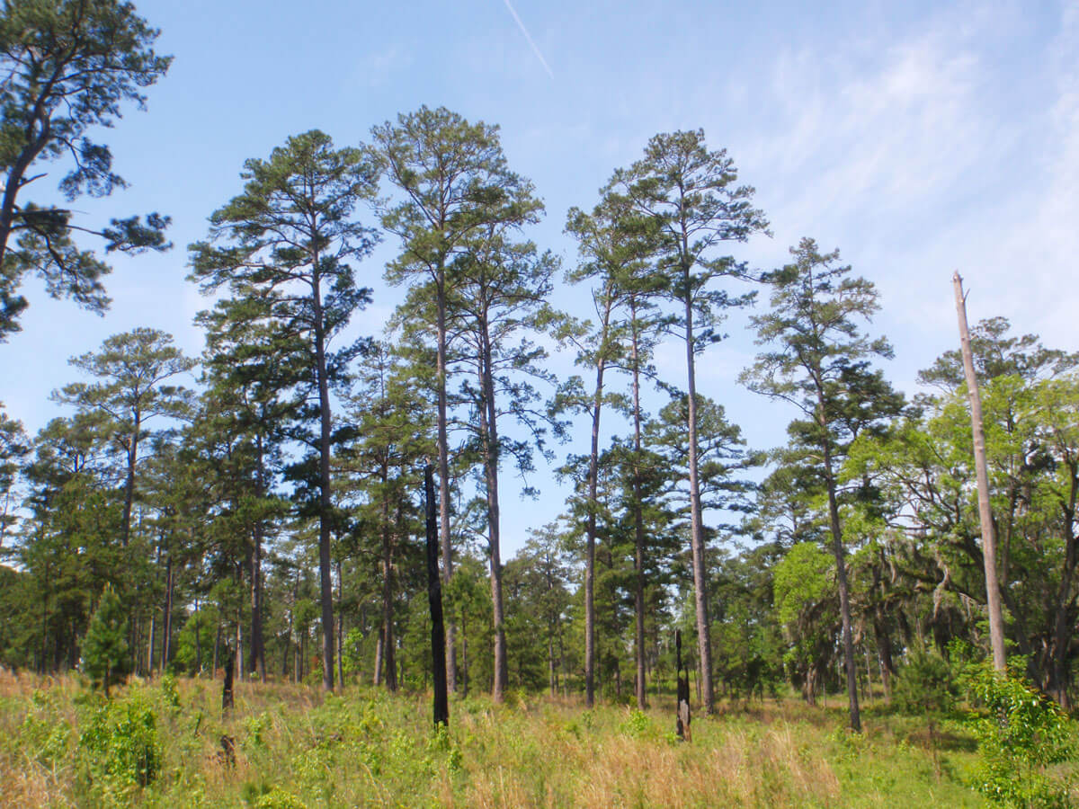 Longleaf-Pine-Forest-1200px
