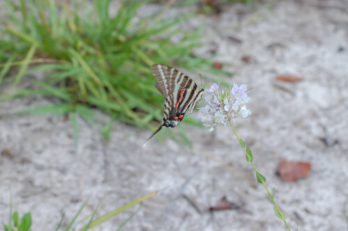 Clasping Warea floral visitor